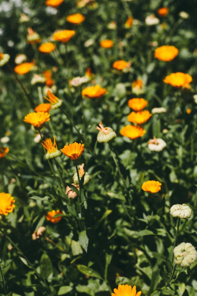 how to make a calendula sale
