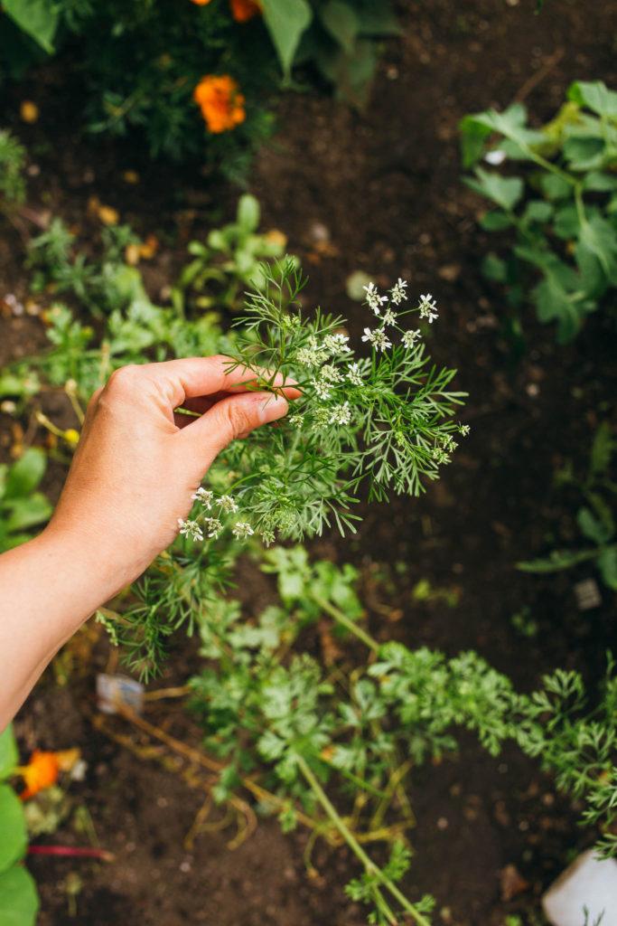 Garden with cilantro