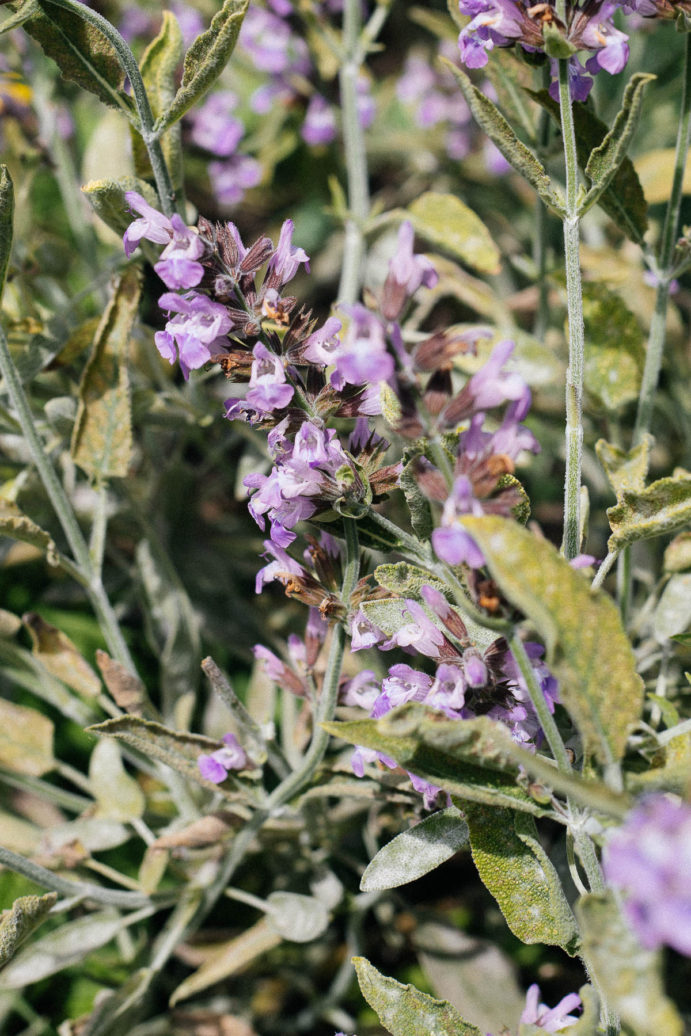 Close up of purple sage flowers.