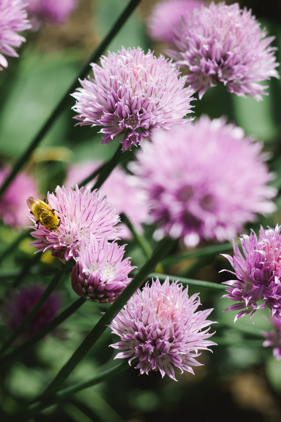 A bee on chive flowers