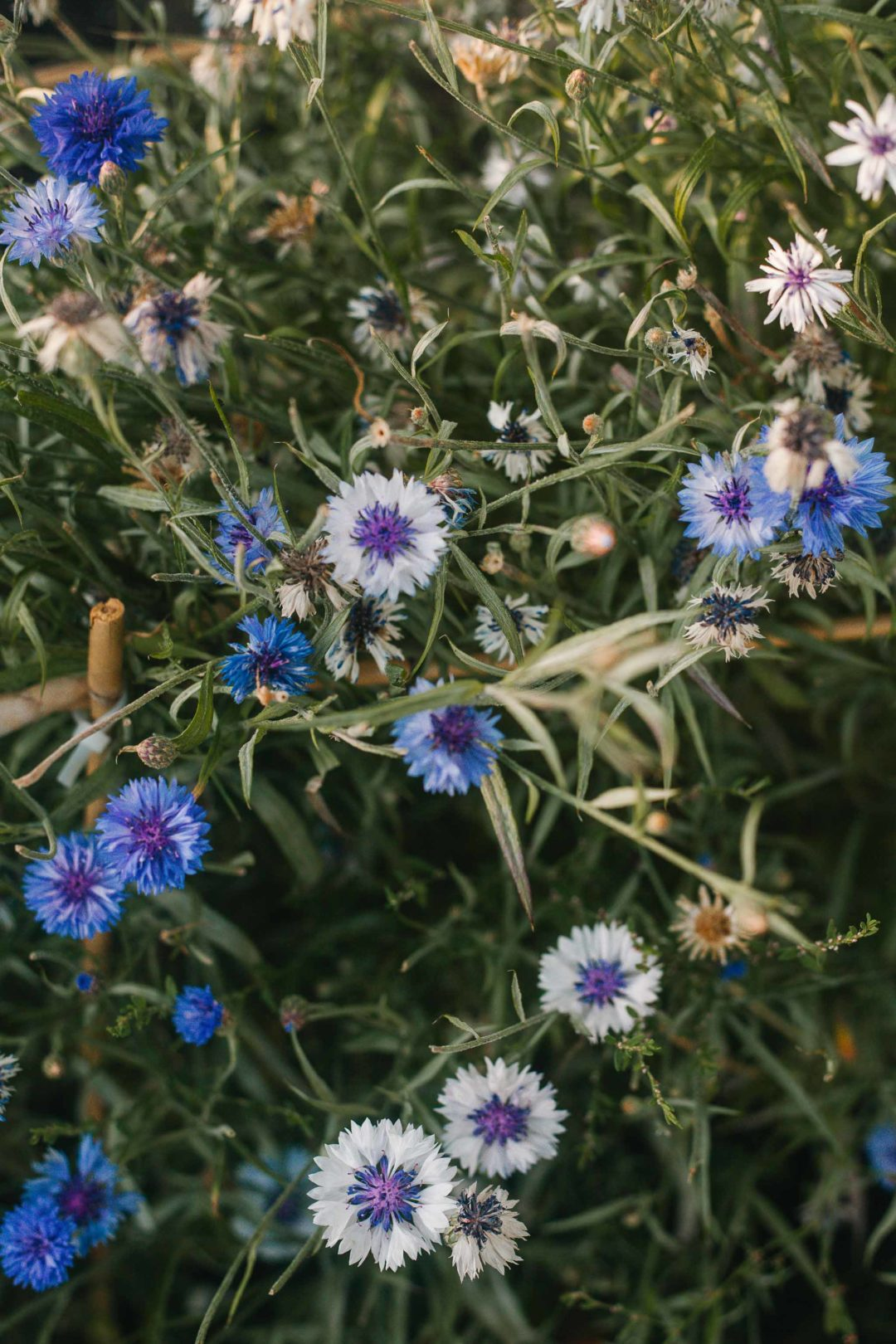 Bachelor buttons (corn flowers) in a garden