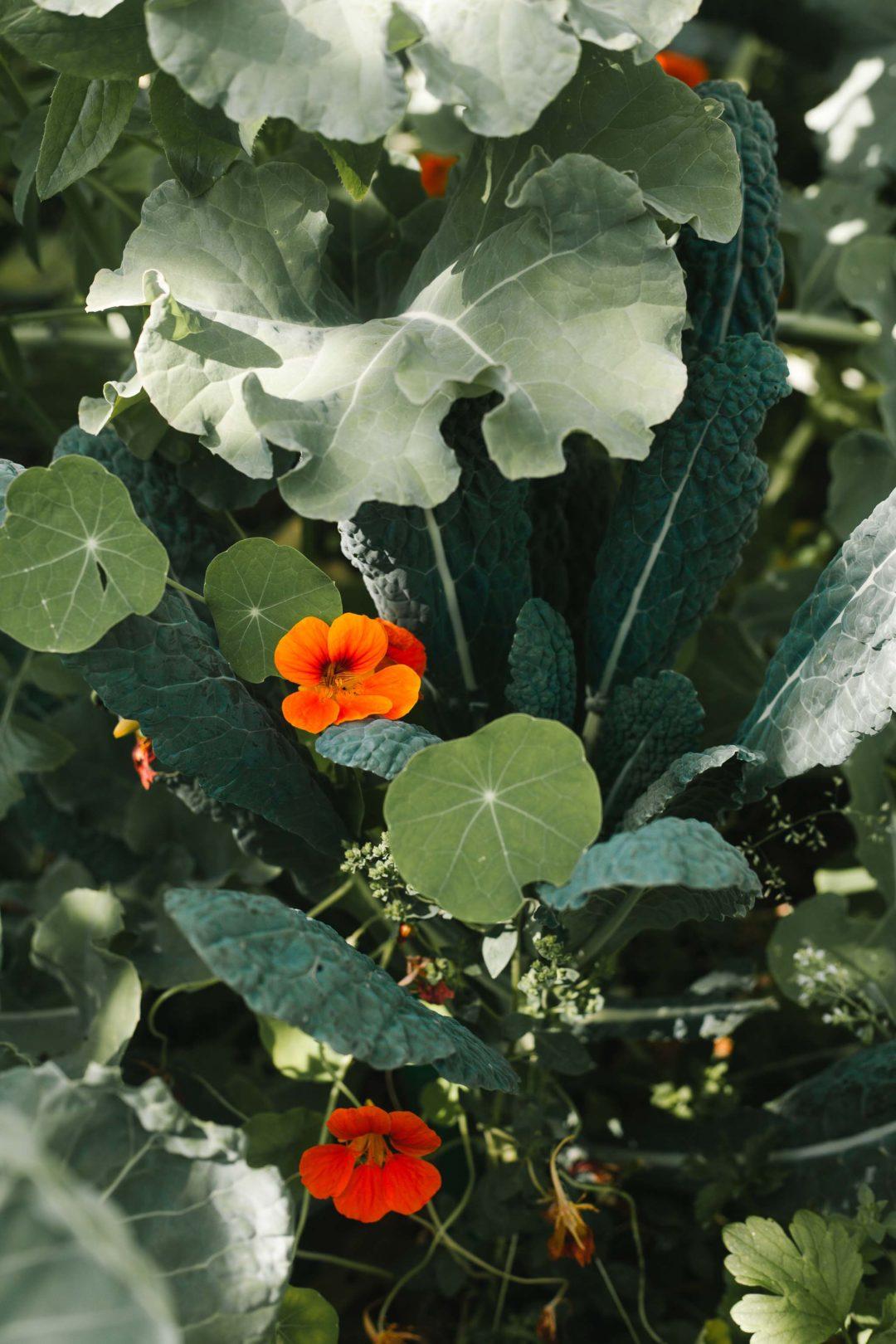 Nasturtium flowers in a garden