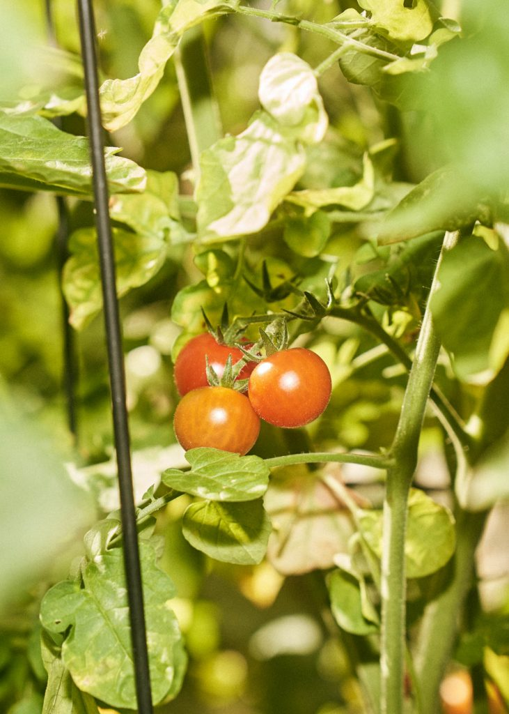 Cherry tomatoes on the vine in a garden.